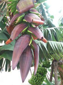 Banan plante set tæt på