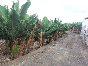 Her er en typisk banaplantage. Denne er fra San Andrés Y Sauces